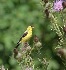 Free Goldfinch Stock Photo - 6399050
