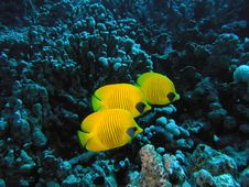 Free Masked Butterfly Fish Royalty Free Stock Photos - 6399128