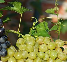 Grapes And Vine Plant Royalty Free Stock Images