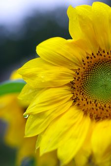 Free Sunflower With Water Drops Stock Photography - 6399982