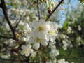 Free White Blossom In The Garden Stock Photos - 63944373