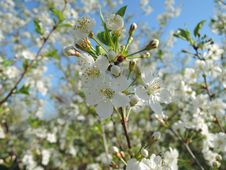 Free White Blossom. Royalty Free Stock Image - 63944386