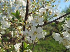 Free Branch Of Blossoms. Royalty Free Stock Photos - 63944388