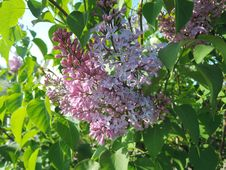 Lilac With Leaves. Lilac Branch. Stock Image