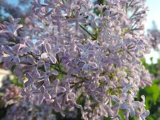 Lilac - Many Little Flowers Of Lilac. Royalty Free Stock Photography
