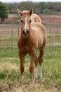 Free Palomino Foal Stock Photo - 645490