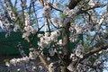 Free Sprin Bloom Tree Royalty Free Stock Image - 649066