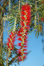 Free Bottle Brush Bush Royalty Free Stock Image - 649506