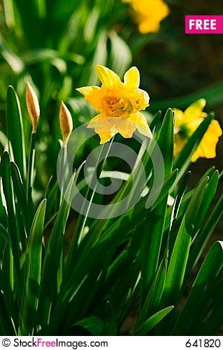 Daffoil Garden Stock Photo