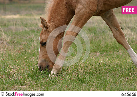 Free Grazing Palomino Colt Royalty Free Stock Photos - 645658