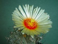 Free Blossoming Cactus Astrophytum Capricorne. Royalty Free Stock Photography - 640397