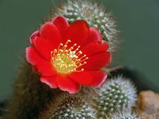 Free Blossoming Cactus Aylosteria Kupperiana. Stock Images - 640744
