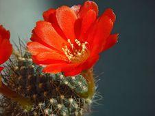 Free Blossoming Cactus Aylosteria Kupperiana. Royalty Free Stock Photo - 640745