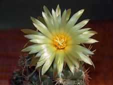 Free Blossoming Cactus Coryphantha Andreae. Royalty Free Stock Photos - 640748