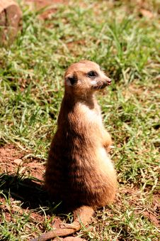 Free Meerkat Manor Royalty Free Stock Photos - 640898