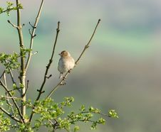 Free The Female Chaffinch Stock Photography - 641002