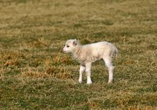 Free New Born Lamb Stock Photo - 641010