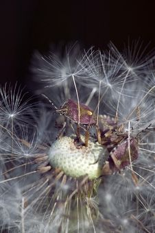 Free Dandelion Royalty Free Stock Photo - 641105