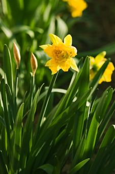 Free Daffoil Garden Stock Photo - 641820