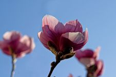 Free Pink Magnolia Close-up Royalty Free Stock Photos - 641848