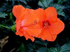 Free Bright Orange Hibiscus Royalty Free Stock Photos - 642158