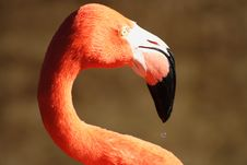 Free Flamingo5 Royalty Free Stock Photography - 642347