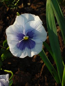 Free Pansy Royalty Free Stock Images - 643019