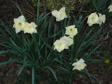 Free Daffodils Stock Photography - 643072