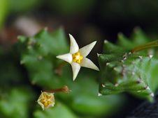 Free Blossoming Duvalia Parviflora. Stock Photos - 643473