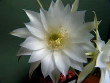 Free Blossoming Cactus Of Family Echinopsis. Royalty Free Stock Image - 643596