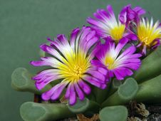Free Blossoming Frithia Pulchra. Royalty Free Stock Photography - 643767