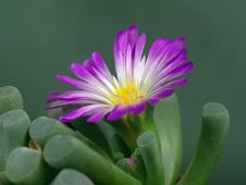 Free Blossoming Frithia Pulchra. Stock Photo - 643770