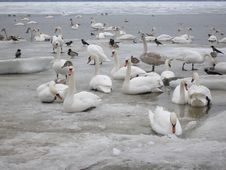 Free Swans Together Stock Photo - 643870