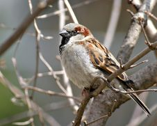 Free Sparrow In Tree Stock Photography - 644302