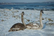 Free Two Swans On The Beach Royalty Free Stock Photos - 645178