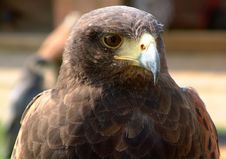 Free Red Tailed Hawk. Stock Photos - 645303