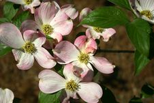 Free Dogwood Blossom Stock Photo - 645920