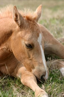 Free Sleepy Foal Royalty Free Stock Image - 645926