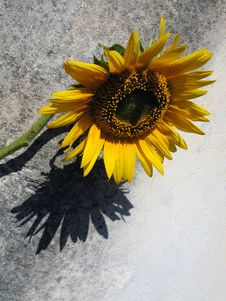 Free Sunflower Composition Stock Image - 646301