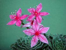 Free Blossoming Graptopetalum Bellum. Stock Photos - 647023