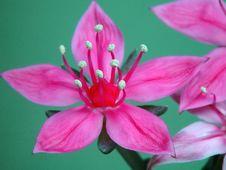 Free Blossoming Graptopetalum Bellum. Royalty Free Stock Images - 647029