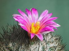 Free Blossoming Cactus Gymnocactus Beguinii. Stock Images - 647174