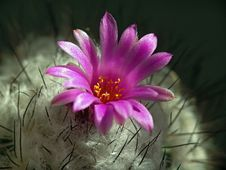 Free Blossoming Cactus Gymnocactus Viereckii. Royalty Free Stock Photo - 647175