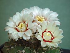 Free Blossoming Cactus Gymnocalicium Quehlianum. Royalty Free Stock Photography - 647247