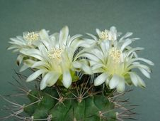 Free Blossoming Cactus Of Family Gymnocalicium. Royalty Free Stock Images - 647249