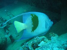 Free Arabian Angelfish Royalty Free Stock Photography - 647287