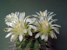 Free Blossoming Cactus Of Family Gymnocalicium. Royalty Free Stock Image - 647296