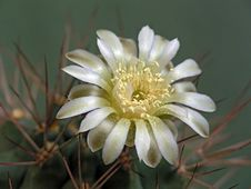 Free Blossoming Cactus Of Family Gymnocalicium. Royalty Free Stock Photos - 647298