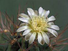 Free Blossoming Cactus Of Family Gymnocalicium. Stock Photo - 647300
