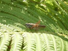 Free Grasshopper On The Fern Royalty Free Stock Images - 647359